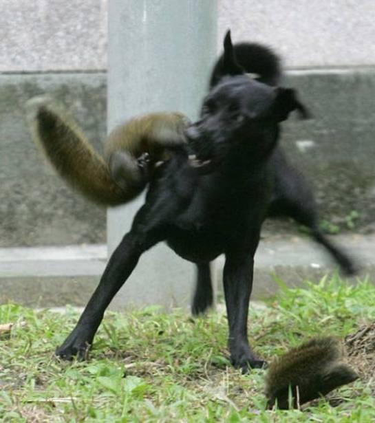 ... violente, impitoyable. Médor est débordé par cet ennemi en fourrure soyeuse. Petit écureuil s'enfuit. Vite, vite !